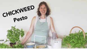 Chickweed pesto