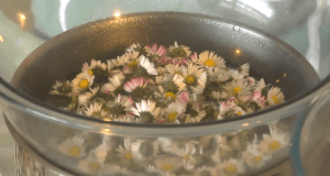 Infused oil of daisy